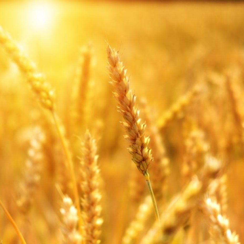 Pour quelles raisons faut-il éviter de consommer du gluten ?